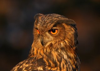 Eagle Owl Head