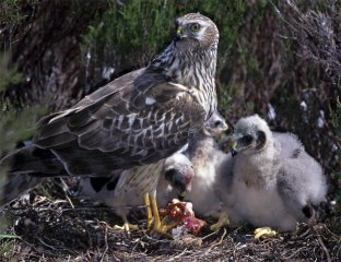 Female Hen Harrier feeding her 3 chicks
