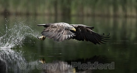 Sea Eagle above the pond