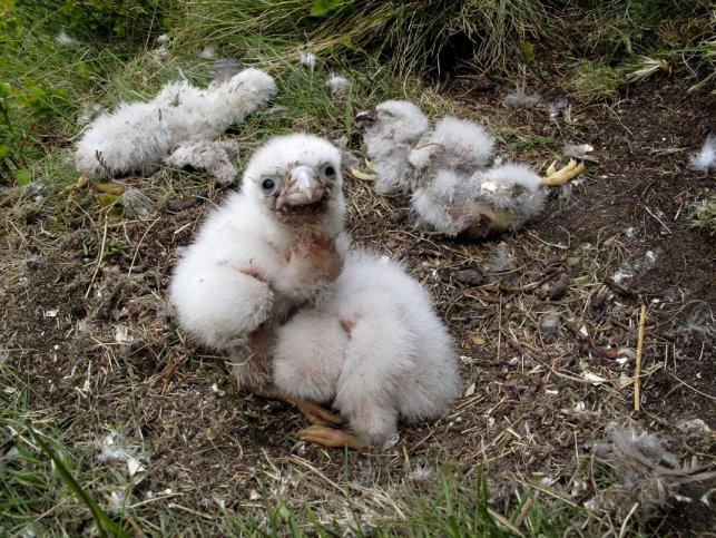 peregrine-chicks