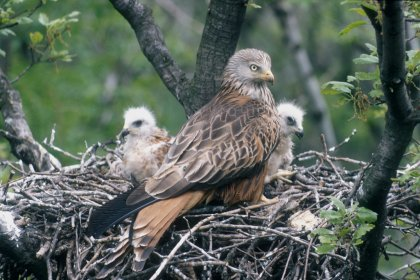 red-kite-at-nest-with-chick
