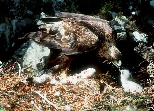 golden-eagle-feeding-chick