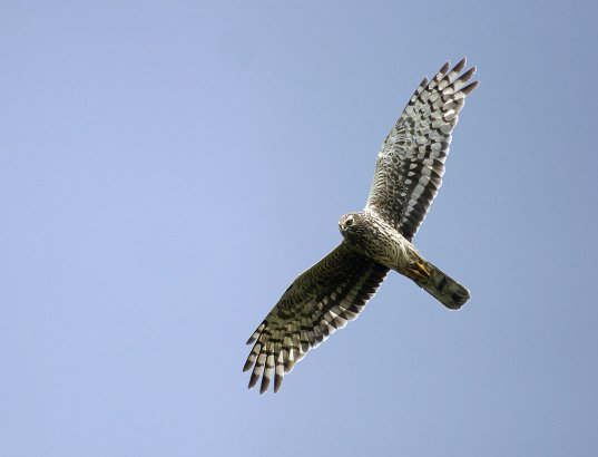 hen-harrier-flying-left-ove