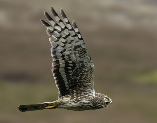 The English Hen Harrier is now facing extinction on our uplands