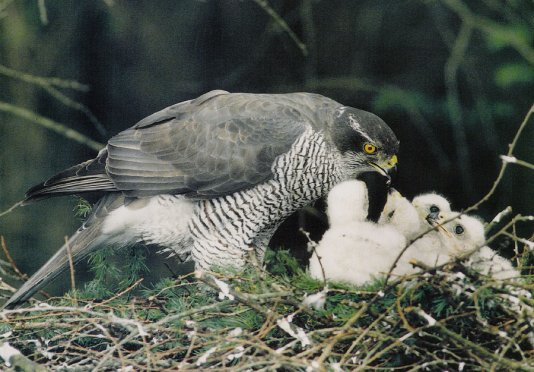 female-goshawk
