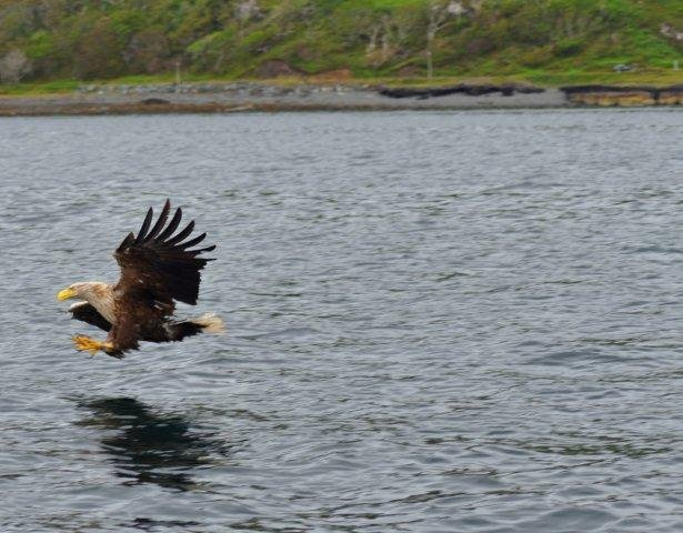 white-tailed-eagle-fishing