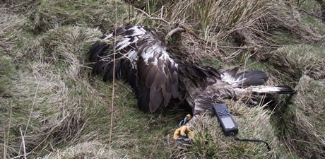 poisoned-golden-eagle