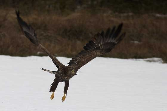 sea-eagle-flight