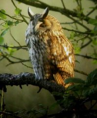 long-eared-owl-1