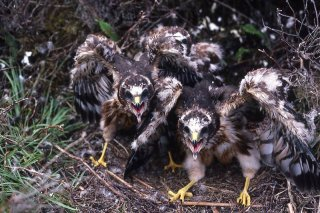 Healthy Hen Harrier chicks