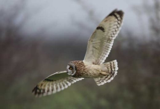 short-eared-owl-in-flight
