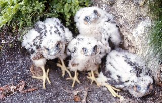 Healthy Peregrine chicks
