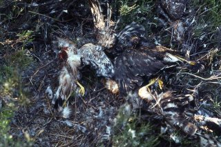 Massacred Hen Harrier chicks