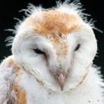 Barn Owl Grahame Madge