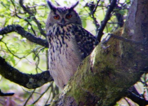 EAGLE OWL 580x415