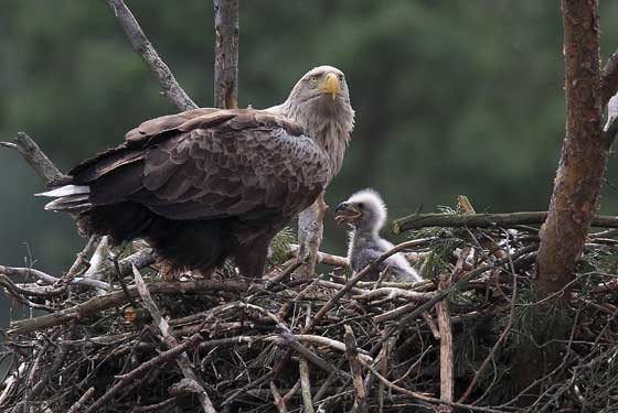 Sea-Eagle-with-chick