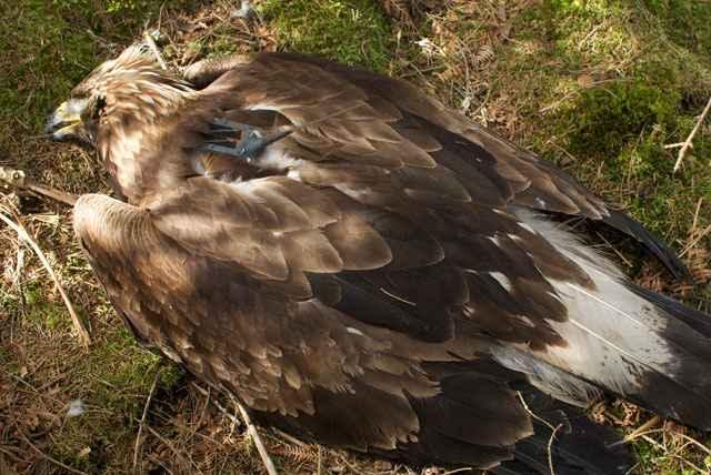 Golden Eagle Deeside