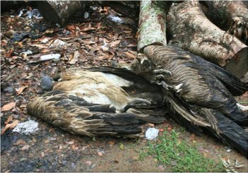Slender billed vultures killed by Diclofenac in India