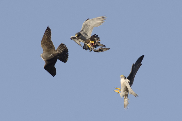 Peregrine-food-pass-picture