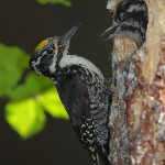 Three-toed woodpecker Jean