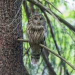 Ural Owl Jean