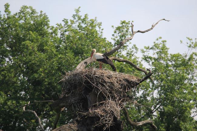 White-Stork-Obora