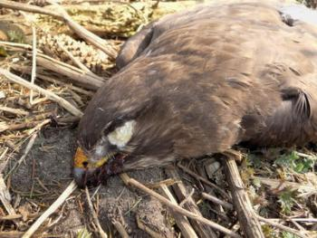Dead buzzard with meat