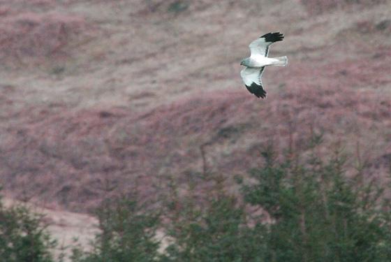 Ewan-Hen-Harrier-Mull.02