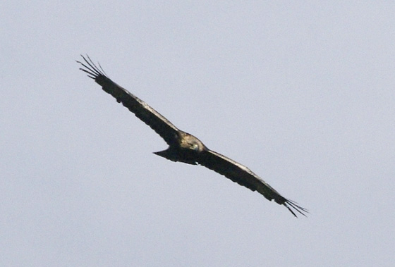 Golden-Eagle-Ewan--web01