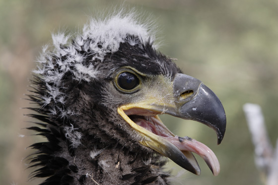 White-tailed-eagle-chick