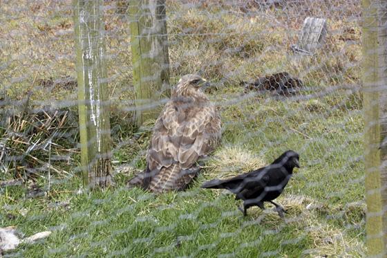 Buzzard-in-Crow-trap