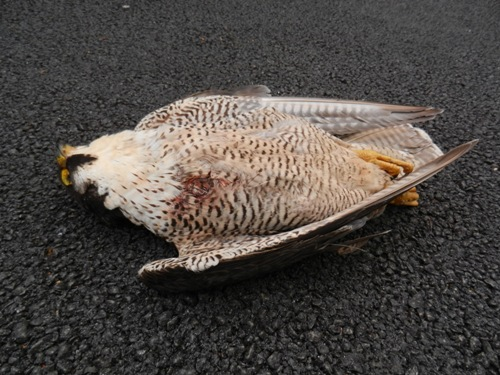 Dead_female_Peregrine_Falcon_(Kevin_Collins)_500
