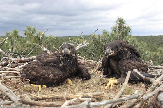 WHITETAILED-EAGLES