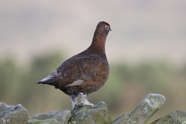 Red-Grouse02