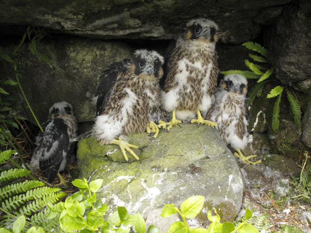 4-Peregrine-Chicks-United-U