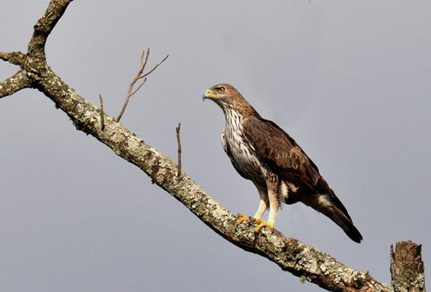 Bonelli's_Eagle