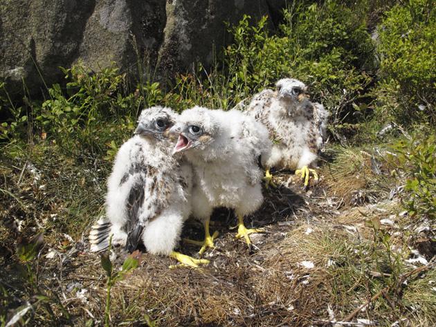 Bowland-Peregrines-in-nest