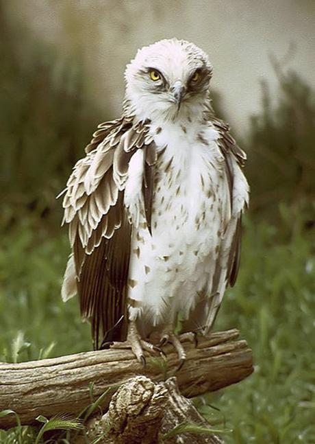 short-toed-eagle.460