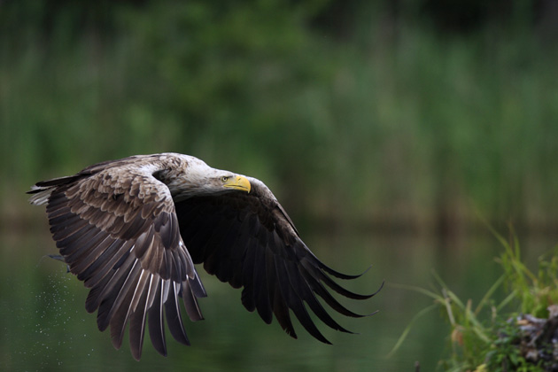 White-tailed-Eagle-OVER-PON