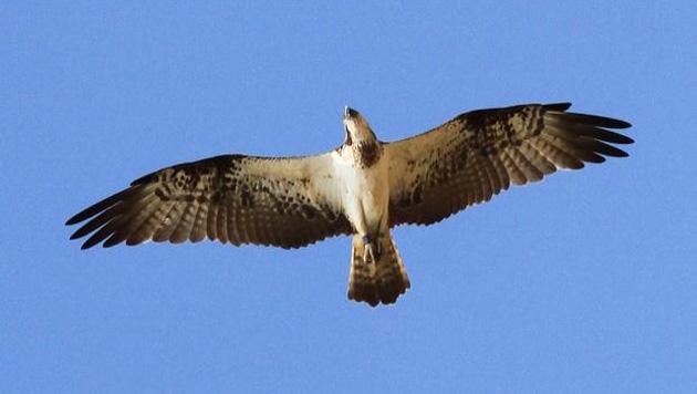 osprey.630