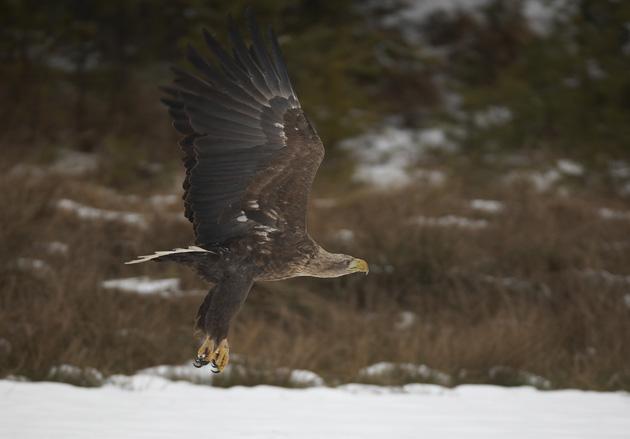 sea-eagle-in-flight