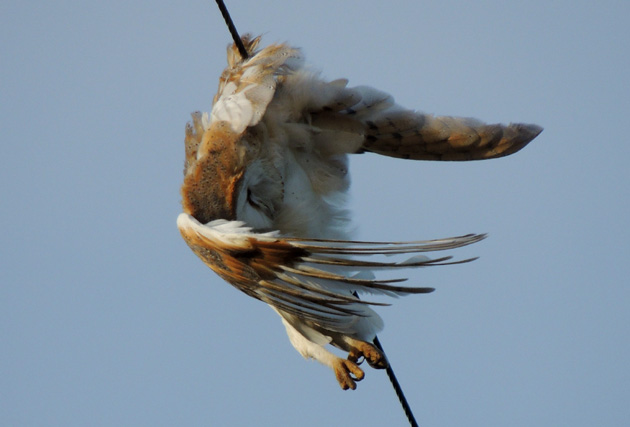 Barn-Owl-Slow-Death.web