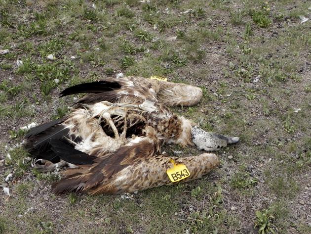 Griffon-Single-dead-bird