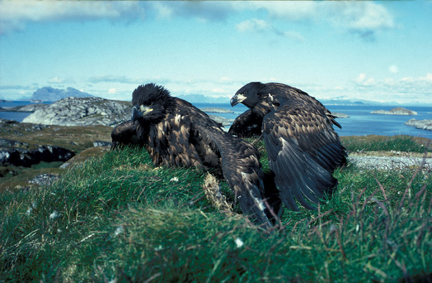 Norwegian-Eaglets-on-stack