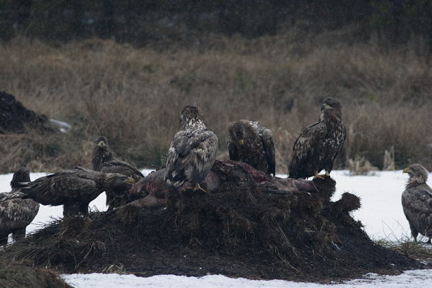 White-tailed-eagles-feeding