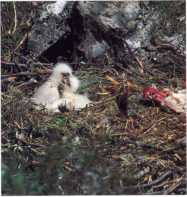 Eaglets-Fighting-05