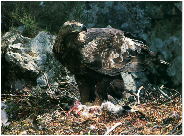 Female-Golden-Eagle-feeding