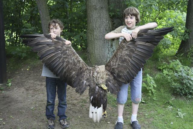German-sea-eagle-poisoned