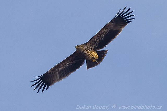 Imperial-Eagle-Dusan-Boucny