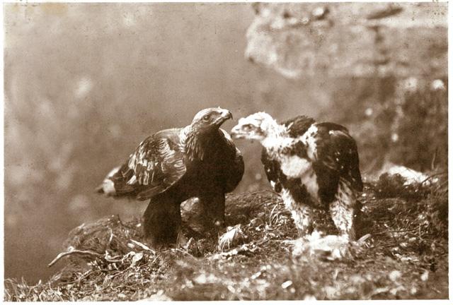 Male-Eagle-with-single-eagl